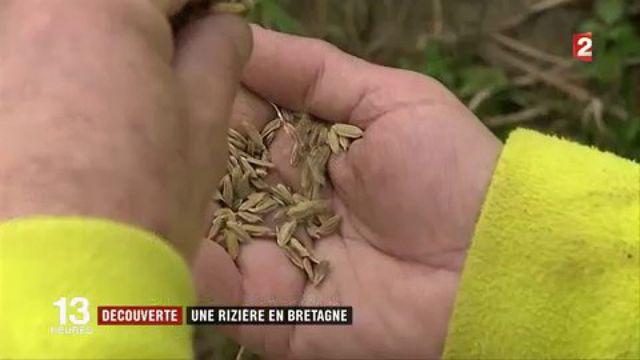 Découverte : une rizière en Bretagne