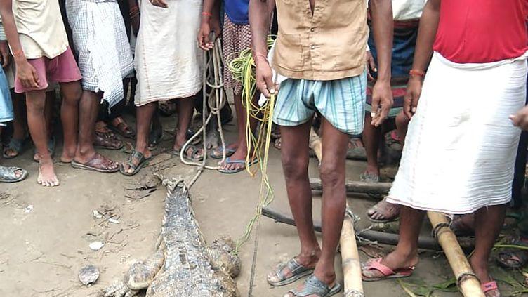 Le crocodile de la réserve Dudhwa, dans l'Uttar Pradesh, le 9 septembre 2020 en Inde. (BUFFER DIVISION OF DUDHWA TIGER / AFP)