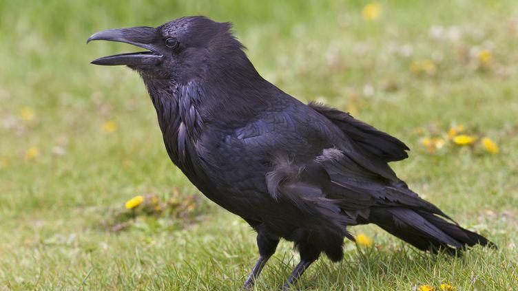 A Froidefontaine, près de Belfort, en Franche-Comté, Patricia vit un stress permanent en raison d'un corbeau qui l'a suivie et agressée à deux reprises. (PAUL THOMPSON / PHOTOLIBRARY RM / GETTY)