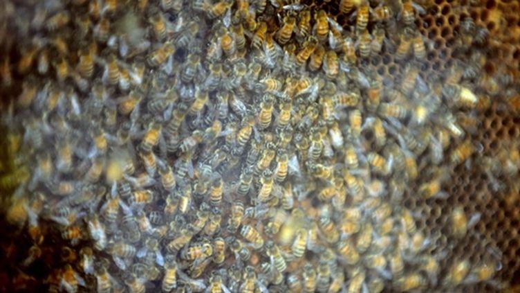 Abeilles évoluant dans une ruche. (AFP/PASCAL GUYOT)