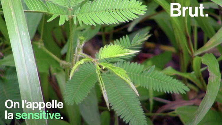 VIDEO. La sensitive, une plante aux mécanismes de défense surprenants (BRUT)