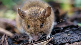 Le pays fait face à une invasion de souris qui détruit notamment les récoltes des agriculteurs. (MARK FAIRHURST / AVALON / MAXPPP)