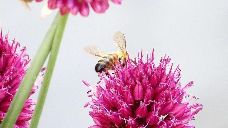 Une abeille butinant une fleur, juillet 2019. (ST?PHANE MILHOMME / FRANCE-INFO)