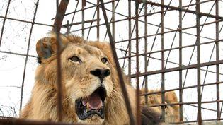 Un lion de 11 ans dans une cage à Fier (Albanie), le 28 octobre 2018. (GENT SHKULLAKU / AFP)