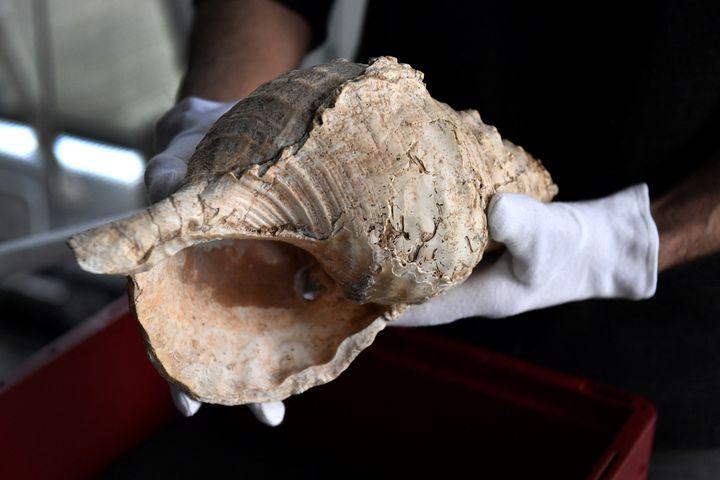 Une conque de 18 000 ans présentée au Museum de Toulouse. (GEORGES GOBET / AFP)