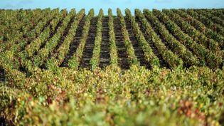 Une vigne dans le Beaujolais sur la commune de Le Breuil (Rhône). (MAXPPP)