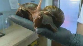 Escargots géants dans les rues de Miami (Floride) (EVN)