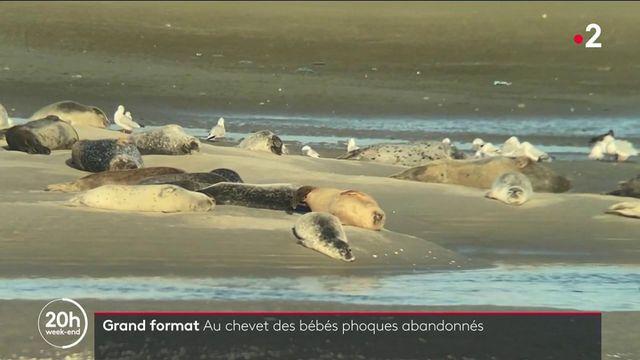 Pas-de-Calais : retour des phoques sur la côte d'Opale