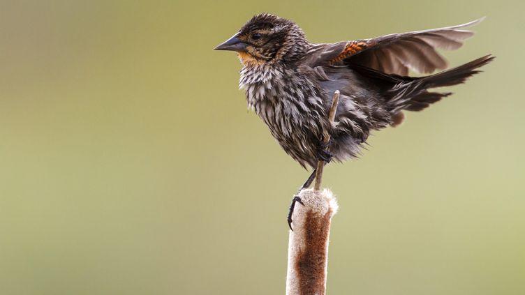 Les scientifiques ont étudié les chants des moineaux de Savannah, dans leurs habitats de prairies du sud de l'Alberta, près de Brooks, au Canada. (OSCAR DIEZ / BIOSPHOTO)