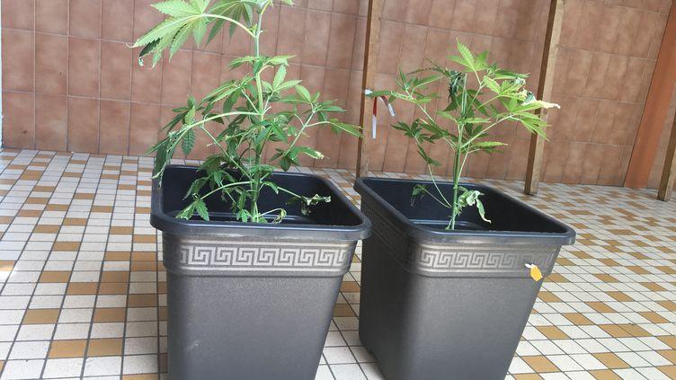 Des plants de cannabis en pot. (MARIE ROUARCH / RADIO FRANCE)