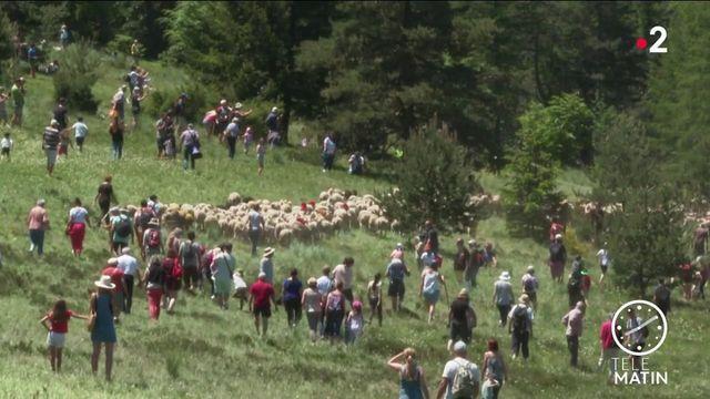Gard : la transhumance démarre sur fond d'inquiétude des éleveurs