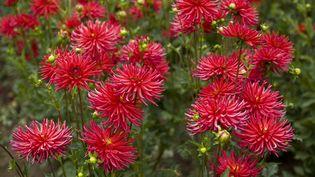 Le retour du dahlia cactus dans nos jardins. (Garden Photo World / David C. Phillips / GETTY IMAGES)