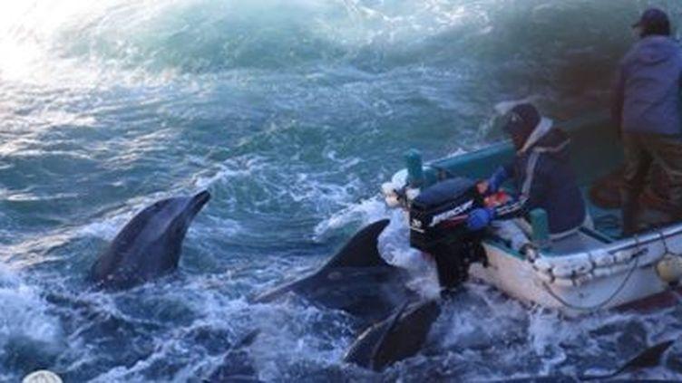Seuls les plus beaux spécimens sont vendus aux parcs marins, les autres sont tués. (Sea Shepherd)