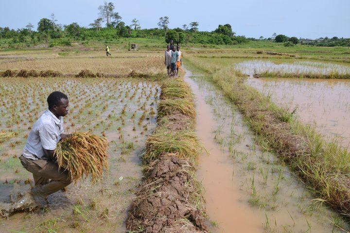Un ouvrier agricole dans une rizière près d'Agboville en Côte d'Ivoire. (ISSOUF SANOGO / AFP)