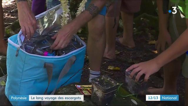 Polynésie : le long voyage des escargots
