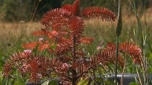 Les arbres souffrent de la sécheresse et de la forte chaleur. (France 3)