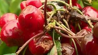 Les pertes sont conséquentes pour les agriculteurs du Luberon. (CAPTURE ECRAN FRANCE 2)
