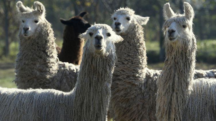 Des lamas immunisés avec la protéine SARS-CoV-2 à l'Institut national de technologie agricole d'Hurlingham (Argentine). Photo d'illustration. (JUAN MABROMATA / AFP)