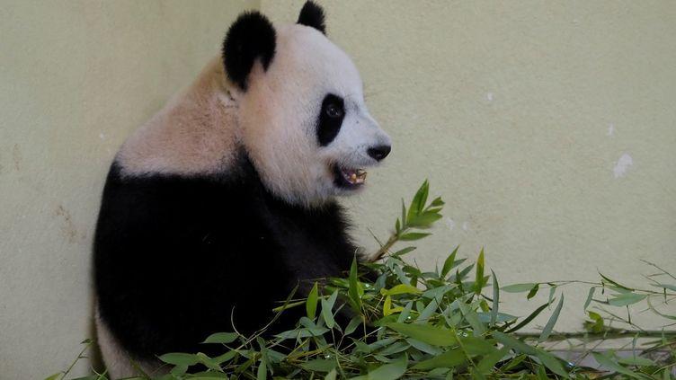 La femelle panda Huan Huan au zoo de Beauval à Saint-Aignan-sur-Cher (Loir-et-Cher), le 1er août 2021. (GUILLAUME SOUVANT / AFP)
