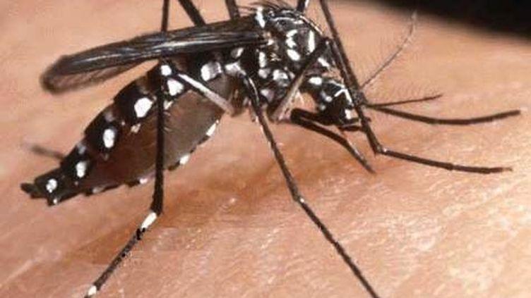Un moustique tigre responsable du Chikungunya et de la dengue.