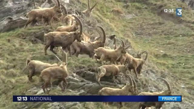 Haute-Savoie : les bouquetins menacés d'abattage massif pour protéger les vaches