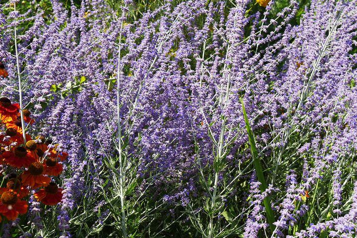 Perovskia atriplicifolia est surnommée sauge ou lavande d'Afghanistan. (ISABELLE MORAND / RADIO FRANCE / FRANCE INFO)