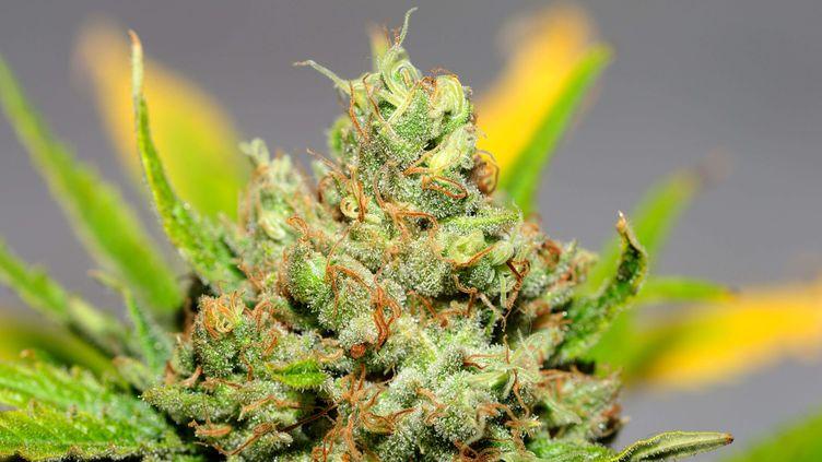 """La """"skunk"""", une variété de cannabis très puissante, est accusée de favoriser le développement des psychoses, dansune étude médicale britannique publiée le 16 février 2015. (SIPANY / SIPA)"""