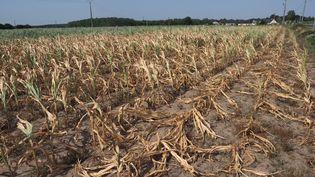Un champ de maïs brûlé par la chaleur, à Longue-Jumelles (Maine-et-Loire), le 23 juillet 2019. (GUILLAUME SOUVANT / AFP)