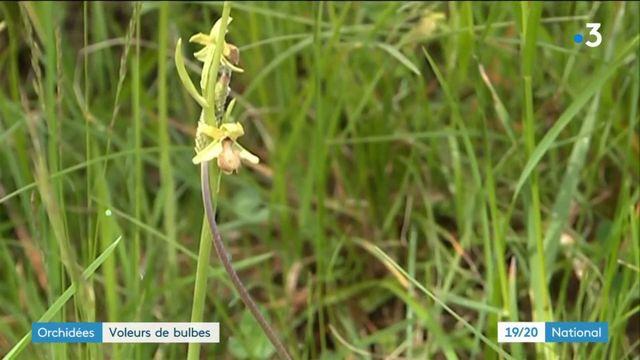 Biodiversité : des voleurs de bulbes d'orchidées