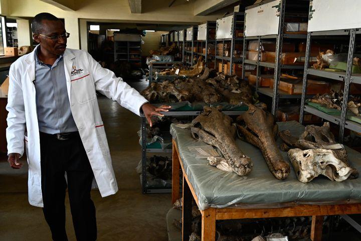 Le responsable du départemen de paléontologie du Musée national de Nairobi, Job Kibii, montre différents fossiles de crocodiles dans les collections de l'établissement le 23 mai 2019. (SIMON MAINA / AFP)