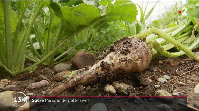 Alsace : pénurie de betteraves