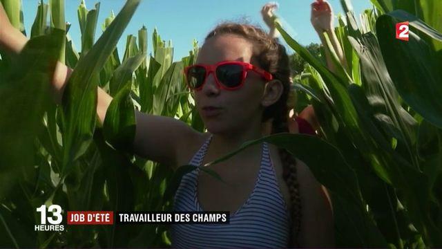 Job d'été : castreur de maïs dans le Tarn-et-Garonne