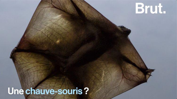 VIDEO. Voici le mystérieux colugo, le meilleur planeur de tous les mammifères (BRUT)