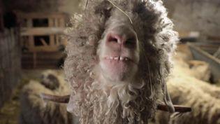 Les chèvres angora, une espèce rare au poil très prisé. (CAPTURE ECRAN FRANCE 2)