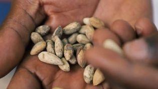 Des graines de margousier. (FRANCE 2)