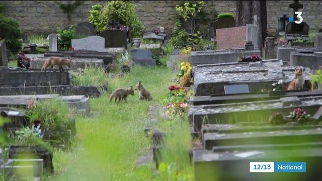 Animaux : des renards aux portes de Paris