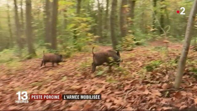 L'armée française mobilisée contre la peste porcine