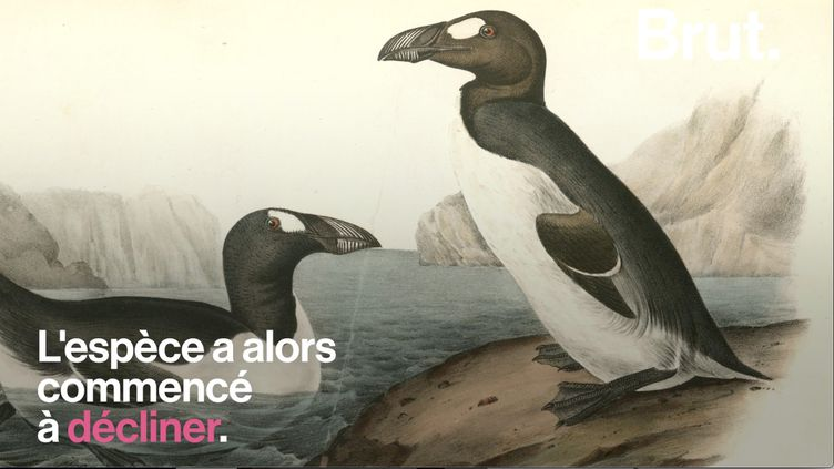 VIDEO. Comment le grand pingouin a-t-il définitivement disparu ? (BRUT)