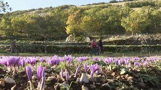 Récolte du safran (FRANCE 3)