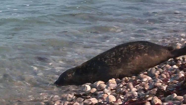 Dans la baie de Somme, quatre bébés phoques ont été mis à l'eau le samedi 9 octobre. Abandonnés par leur mère à la naissance, ils avaient été recueillis et soignés par une association. (Capture d'écran France 3)