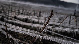 Des vignes gelées près de Chablis, le 7 avril 2021. (JEFF PACHOUD / AFP)