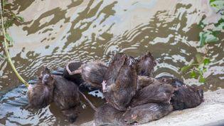 Des rats tentent de fuir la crue de la Seine, le 2 juin 2016, à Paris. (MAXPPP)