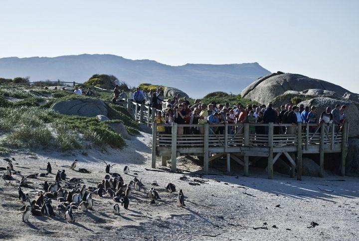 Sur la plage de Boulders, en Afrique du Sud, un itinéraire a été aménagé afin que les promeneurs puissent voir la colonie de pingouins sans la déranger. (FRANCOIS-XAVIER MARIT / AFP)