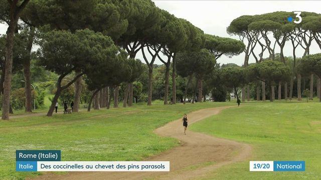 Rome : la coccinelle utilisée contre un parasite qui a détruit 80% des pins parasols