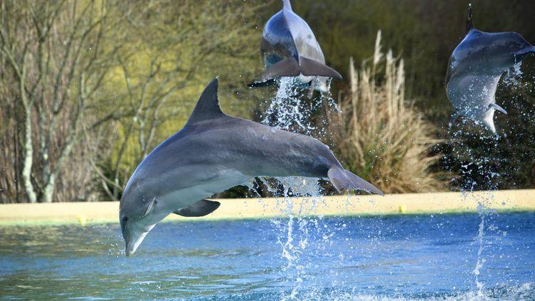 Spectacle le 26 février 2011, au delphinarium du parc Planète sauvage à Porte-Saint-Père (Loire-Atlantique) (MAXPPP)