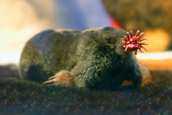 La taupe à nez étoilé vit au Canada et aux USA. Toute petite, elle ne mesure qu'une vingtaine de centimètres. Son museau est muni de 22 tentacules qui lui servent d'organes tactiles. (FOTOTOTO / BLICKWINKEL)