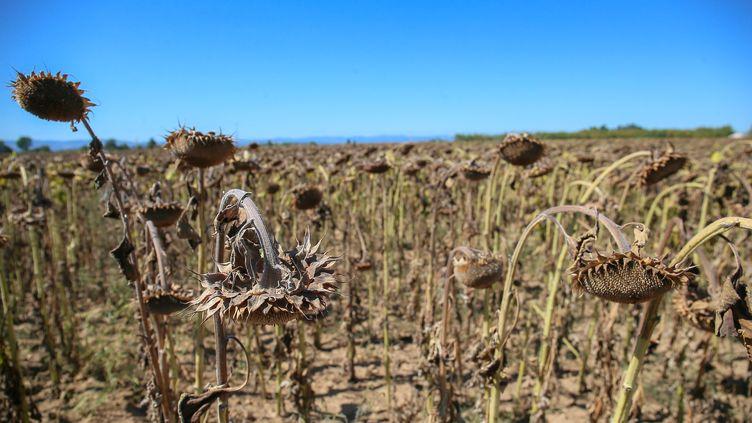 Un champ de tournesols desséché, le 13 septembre 2019 à Valence (Drôme). (NICOLAS GUYONNET / HANS LUCAS / AFP)