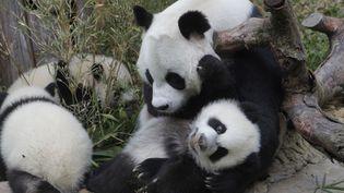 1 864 pandas géants vivaient en Chine à l'état sauvage en 2013, soit 268 ursidés supplémentaires par rapport à 2003, selon une étude officielle publiée dimanche 1er mars 2015. (ALEKSANDAR PLAVEVSKI / SIPA)
