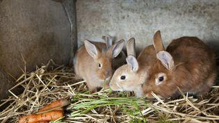 Une centaine de lapins ont été retrouvés morts près de leur cage (photo d'illustration). (CHRISTIAN WATIER / MAXPPP)