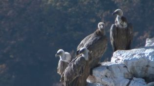 Des vautours dans le Verdon, réintroduits par l'homme en 1999. (FRANCE 2)